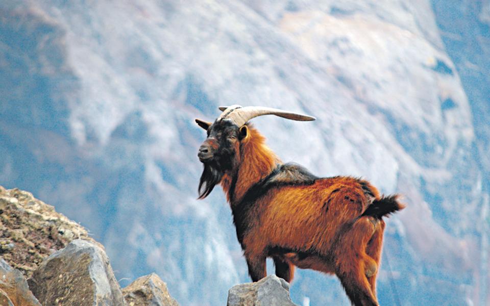Uma luta pela preservação das cabras das Desertas
