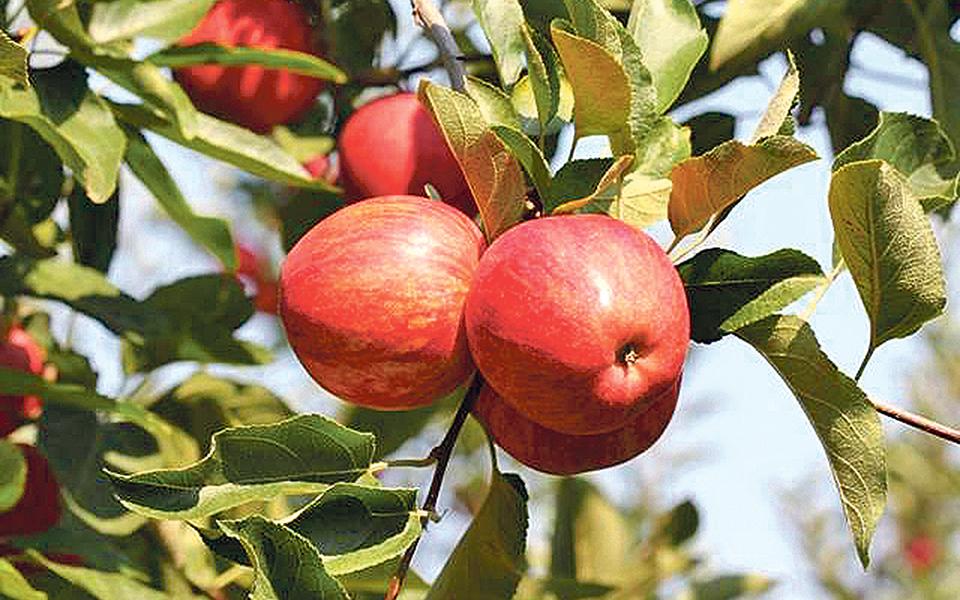 Produtores de maçã de Alcobaça exigem mini Alqueva no Oeste