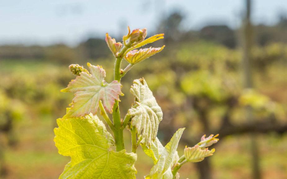 Vinhos: O renascer dos moscatéis de Setúbal