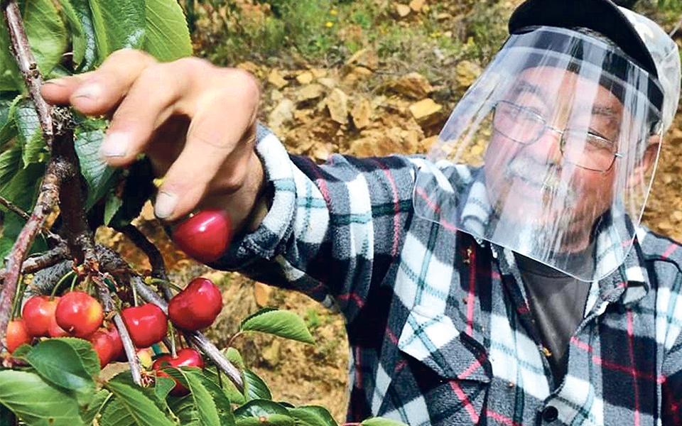 Cereja do Fundão: Este fruto gera 20 milhões de euros por ano