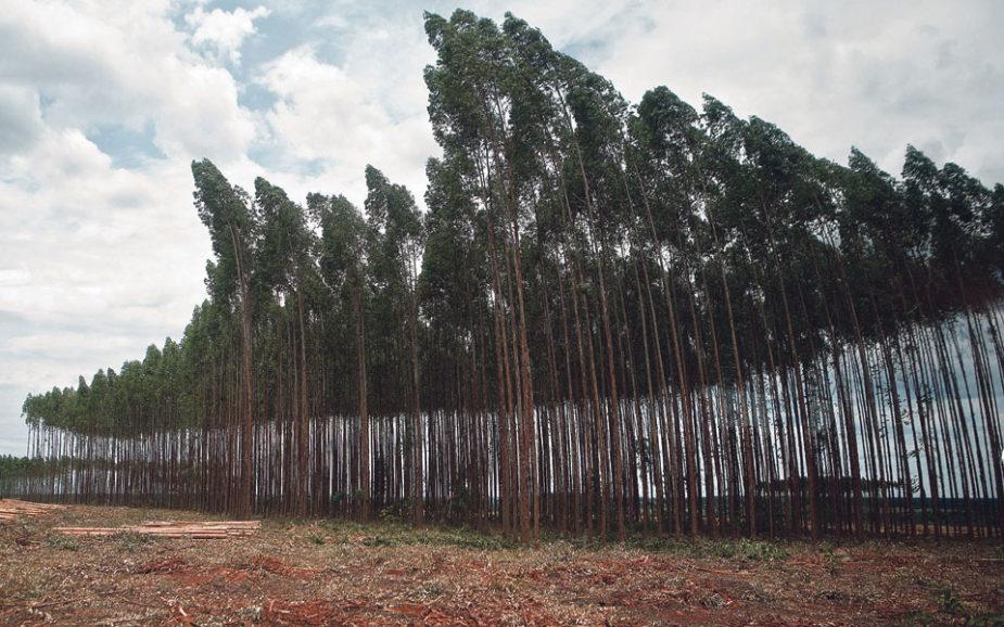Empresários privados querem mais eucaliptos em Portugal