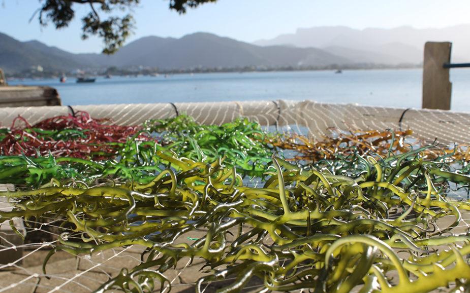 Empresa pioneira usa algas para substituir sal