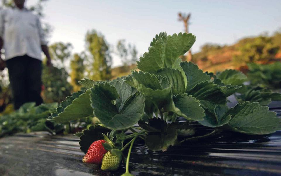 Frutos vermelhos: líder mundial quer duplicar produção em Portugal