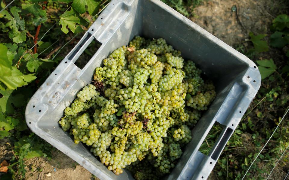 Pisar uvas é para quem quiser, este sábado, no Estreito